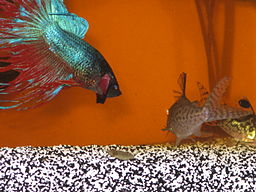 Betta fish awareness day betta fish care the top five for Can you put betta fish with other fish