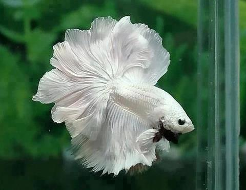 White betta fish