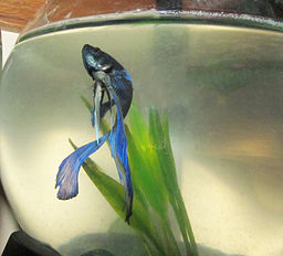 How long do betta fish live for How do you take care of a betta fish