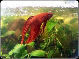 Do betta fish need a heater for Betta fish water temp