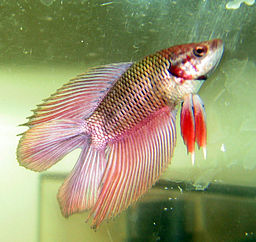 Water temperature for betta fish for What type of water do betta fish need
